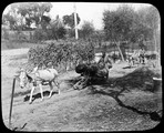 1898 10 Chine brouette à âne