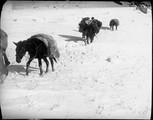 1898 12 Chine  T'A Wouan T'An  mule empêtrée dans la neige